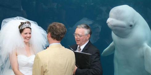 Esta beluga asistió a una boda e inspiró una divertida batalla de Photoshop